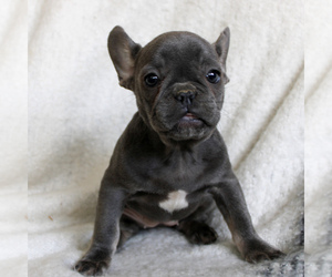 French Bulldog Puppy for sale in MANHEIM, PA, USA