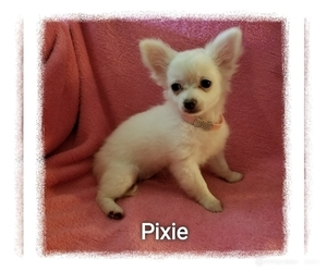 Chihuahua Puppy for sale in MANSFIELD, TX, USA