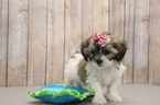 Shih-Poo Puppy For Sale in PORTSMOUTH, OH, USA