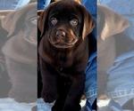 Small #21 Labrador Retriever