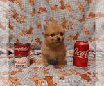 Small Photo #3 Pomeranian Puppy For Sale in CARTHAGE, TX, USA