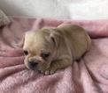 Small French Bulldog
