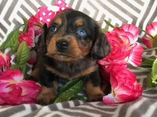 Dachshund Puppy for sale in EAST EARL, PA, USA