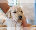 Puppy 7 Goldendoodle