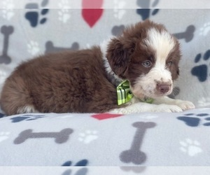 Australian Shepherd Puppy for sale in LAKELAND, FL, USA