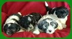 Coton de Tulear Puppy For Sale in MADISONVILLE, TX, USA