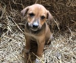 Puppy 2 Australian Cattle Dog-Labrador Retriever Mix