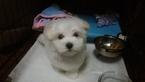 12 week old registered Male Maltese puppy