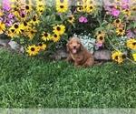 Small #10 Goldendoodle-Poodle (Miniature) Mix