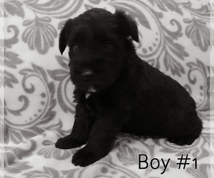 Schnauzer (Miniature) Dog for Adoption in LAKEVILLE, Ohio USA