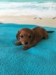 Dachshund Puppy For Sale in ELIZABETH CITY, North Carolina,