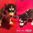Siberian Husky Puppy For Sale in SHELL KNOB, Missouri,