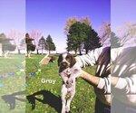 Puppy 6 German Wirehaired Pointer