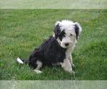 Small #3 Sheepadoodle