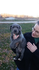 Great Dane Puppy For Sale in CALHOUN, IL, USA