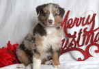 Australian Shepherd Puppy For Sale in MOUNT JOY, PA,