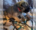 Puppy 1 Bullmastiff
