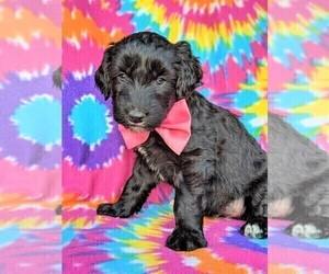 Aussiedoodle Puppy for sale in LANCASTER, PA, USA