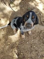 Bluetick Coonhound Puppy For Sale in HOLLAND, TX, USA