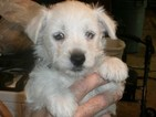 West Highland White Terrier Puppy For Sale in WILLIAMSBURG, KY, USA