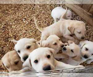Labrador Retriever Puppy for sale in COTTAGE GROVE, TN, USA