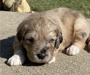 Great Pyrenees-Poodle (Miniature) Mix Puppy for Sale in BOWLING GREEN, Ohio USA