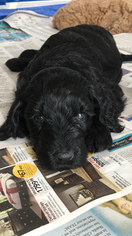 Goldendoodle-Poodle (Standard) Mix Puppy For Sale in AMARILLO, TX, USA