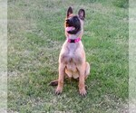 Small #2 Belgian Malinois