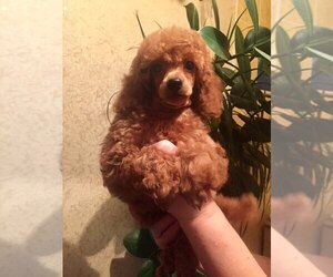 Poodle (Miniature) Puppy for sale in Bila Tserkva, Kyiv, Ukraine