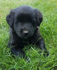 Goberian Puppy for sale in MILLERSBURG, OH, USA