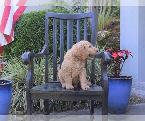 Goldendoodle Puppy For Sale near 32060, Live Oak, FL, USA