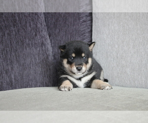 Shiba Inu Puppy for sale in MIAMI, FL, USA
