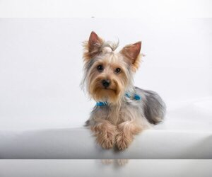 Yorkshire Terrier Puppy for Sale in CRANSTON, Rhode Island USA