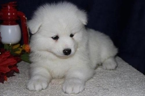 View Ad: Samoyed Puppy for Sale near Illinois, KENILWORTH ...