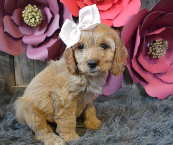View Ad: Cocker Spaniel Puppy for Sale near In India