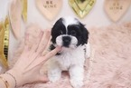 Shih Tzu Puppy For Sale in LAS VEGAS, NV, USA