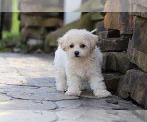 Poochon Dog for Adoption in MOUNT VERNON, Ohio USA
