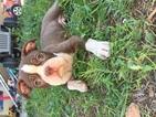 Boston Terrier Puppy For Sale in SAN TAN VALLEY, AZ