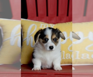 Pembroke Welsh Corgi Puppy for Sale in LYNDEN, Washington USA