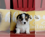 Pembroke Welsh Corgi Puppy For Sale in LYNDEN, WA, USA