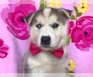 Labrador Retriever-Siberian Husky Mix Puppy for Sale in COATESVILLE, Pennsylvania USA