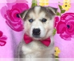 Labrador Retriever-Siberian Husky Mix Puppy For Sale in COATESVILLE, PA, USA