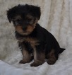Yorkshire Terrier Puppy For Sale in ATWOOD, IL, USA