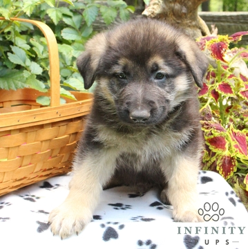 View Ad: German Shepherd Dog Puppy for Sale Near Me In United Arab Emirates