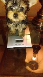 Yorkshire Terrier Puppy For Sale in ELLIJAY, GA