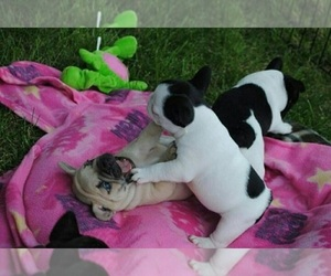 French Bulldog Dogs for adoption in DALLAS, TX, USA