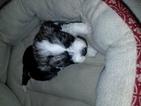 Havanese Puppies   AKC Registered