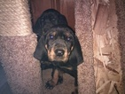 Black and Tan Coonhound Puppy For Sale in BRINSON, GA