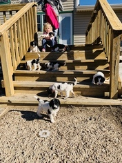 Sheepadoodle Puppy for sale in SELDEN, KS, USA