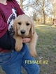 Labradoodle Puppy For Sale in CLARKSVILLE, TX, USA